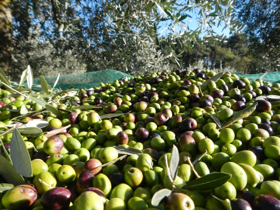 Le olive vengono colte a mano, selezionate e portate in frantoio nelle 24 ore seguenti.