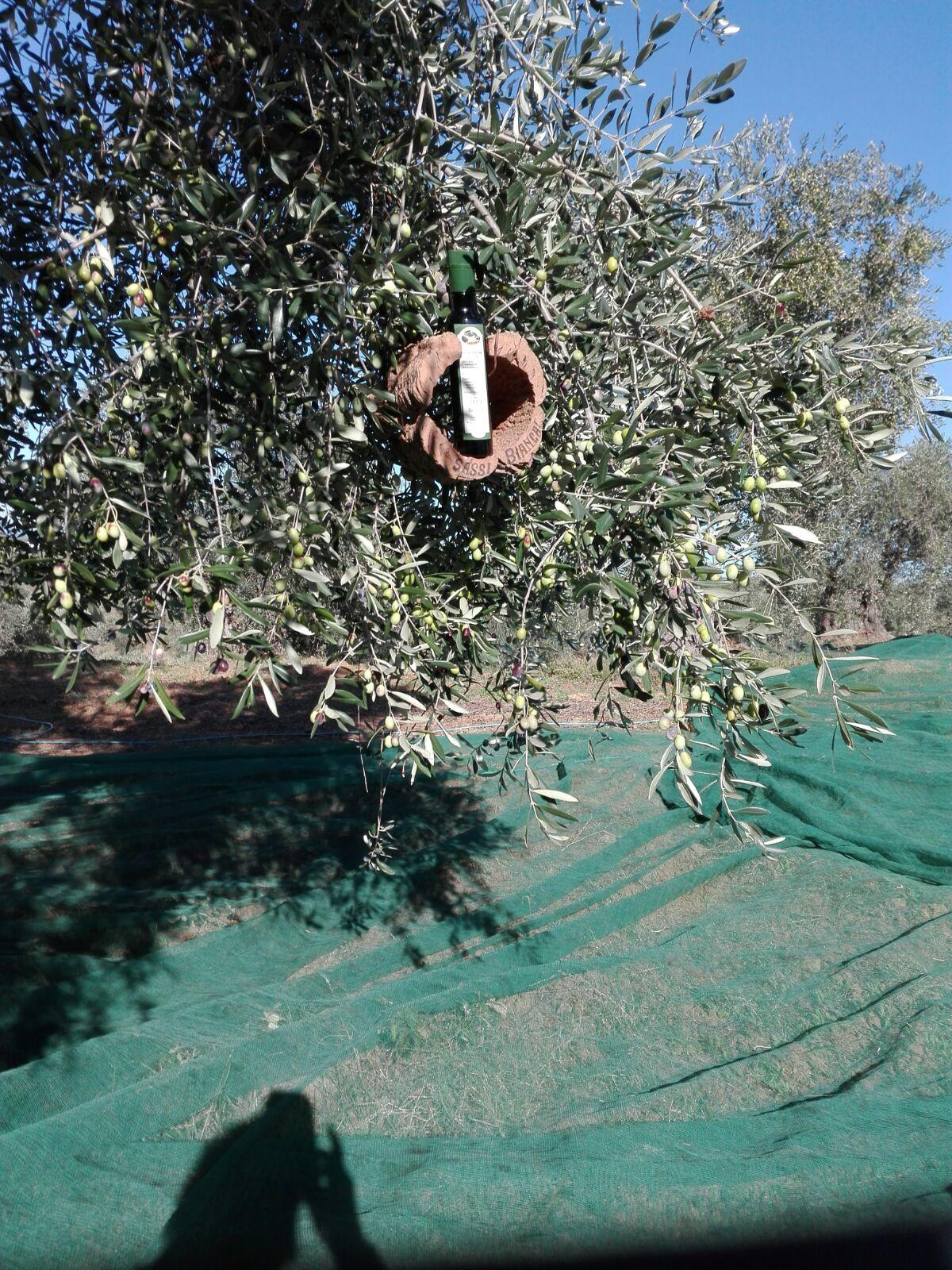 Dall'oliva all'olio EVO in 24 ore